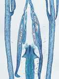 Longitudinal Section of the Anther in the Flower Bud of an Oleander (Nerium), LM X4 Photographic Print by  Biodisc