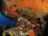 Black Scorpionfish (Scorpaena Porcus), Mediterranean Sea, San Pietro Island, Sardinia Photographic Print by Solvin Zankl