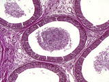 Epididymis Section with Enclosed Sperm and Lined with Pseudostratified Columnar Epithelium Photographic Print by Alvin Tesler