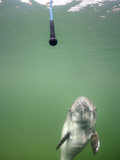 Harbor Porpoise (Phocoena Phocoena) Being Trained, Fjord and Baelt, Denmark Photographic Print by Solvin Zankl