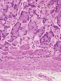 Human Stomach Gastric Fundus Section Showing Darker Pepsin Secreting Chief Cells Photographic Print by Gladden Willis