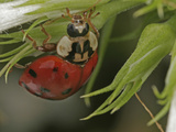 Asian Lady Beetle (Harmonia Axyridis), Family Coccinellidae, New Hampshire, USA Lmina fotogrfica por David Wrobel