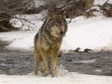 Gray Wolf (Canis Lupus) Running in Snow and Through a Winter Stream Photographic Print by Dave Watts