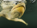 Head of an Olive Ridley Sea Turtle (Lepidochelys Olivacea) Swimming, Costa Rica Photographic Print by Solvin Zankl