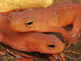 Red Efts (Notophthalmus Viridescens), the Terrestrial Phase of the Eastern Newt, Eastern USA Photographic Print by David Wrobel