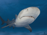 Lemon Shark (Negaprion Brevirostris), Bahamas, Atlantic Ocean Photographic Print by Andy Murch
