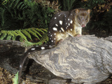 Spotted-Tailed or Tiger Quoll (Dasyurus Maculatus), Tasmania, Australia Photographic Print by Dave Watts