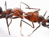 Close Up of Thatch Ants (Formica Obscuripes) Engaged in Trophallaxis or Food Exchange, Wisconsin Photographic Print by Alex Wild