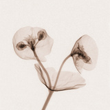 X-Ray of Euphorbia Flowers Photographic Print by George Taylor