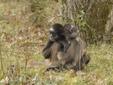 White-Bellied Spider Monkey (Ateles Belzebuth) Mother and Young, Captive Photographic Print by Dave Watts