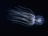 Bell Jellyfish (Polyorchis Penicillatus), California, USA Lmina fotogrfica por David Wrobel