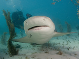 Scuba Diver Swimming Behind a Lemon Shark (Negaprion Brevirostris), Tiger Beach, Bahamas Photographic Print by Andy Murch