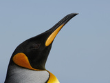 King Penguin Head (Aptenodytes Patagonicus), Falkland Islands Photographic Print by Solvin Zankl