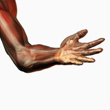 Human Elbow Showing Bones and Muscles Photographic Print by Carol & Mike Werner