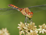 Ruby Meadowhawk Dragonfly (Sympetrum Rubidunculum) Infested by Mites Photographic Print by Robert Servranckx