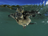 Young Olive Ridley Sea Turtle Struggles Against the Waves to Swim Away from the Coast Photographic Print by Solvin Zankl
