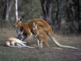 Red Kangaroo (Macropus Rufus) Family Group, Victoria, Australia Photographic Print by Dave Watts