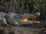 Saltwater Crocodile (Crocodylus Porosus), Northern Territory, Australia Photographic Print by Dave Watts