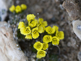 Yellow Marsh Saxifrage (Saxifraga Hirculus) Photographic Print by Louise Murray