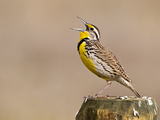 Western Meadowlark Singing Photographic Print by Leroy Simon
