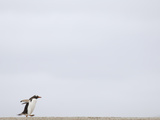 Commuting Between the Ocean and the Rookery the Gentoo Penguins (Pygoscelis Papua) Photographic Print by Solvin Zankl