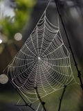 Spider Web with Dew, Archbold Biological Station, Florida, USA Photographic Print by Alex Wild