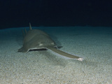 Green Sawfish (Pristis Zijsron) Photographic Print by Andy Murch