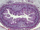 Human Colon Glandular Mucosa Section with Simple Columnar Epithelium Photographic Print by Gladden Willis