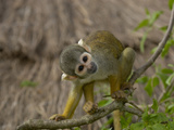 Bolivian Squirrel Monkey (Saimiri Boliviensis), Captive Photographic Print by Dave Watts