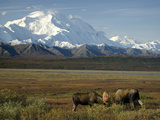 Moose Sparring on the Tundra with Mt. Mckinley in The Background (Alces Alces) Photographic Print by Tom Walker