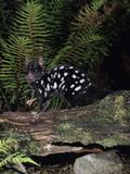 Eastern Quoll (Dasyurus Viverrinus) Dark Phase, Tasmania, Australia Photographic Print by Dave Watts