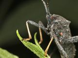 Leaf-Footed Bug, Order Hemiptera, Family Coreidae, New Hampshire, USA Photographic Print by David Wrobel