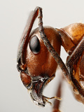 Ant Head Showing the Compound Eye, Antenna, and Mouthparts Photographic Print by Solvin Zankle