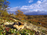 Norway Lemming (Lemmus Lemmus), Sweden Photographic Print by Solvin Zankl