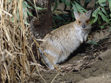Spectacled Hare-Wallaby (Lagorchestes Conspicillatus), Queensland, Australia Photographic Print by Dave Watts