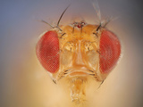 Wild Fruit Fly Face and Red Compound Eyes (Drosophila Melanogaster) Photographic Print by Solvin Zankl