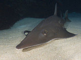 Whitespotted Shovelnose Ray (Rhinobatus Djiddensis) Photographic Print by Andy Murch