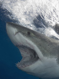 Great White Shark Head (Carcharodon Carcharias), Guadalupe Island, Mexico, Eastern Pacific Ocean Photographic Print by Andy Murch