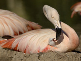 Chilean Flamingo (Phoenicopterus Chilensis) Adult Feeding a Chick on the Nest, Captive Photographic Print by Dave Watts