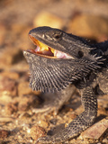 Bearded Dragon (Pogona Vitticeps), Queensland, Australia Photographic Print by Dave Watts