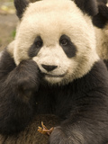 Giant Panda Eating Vegetation (Ailuropoda Melanoleuca), Wolong Province, China Photographic Print by Tom Walker