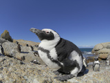 The African Penguin (Spheniscus Demersus), South Africa Photographic Print by Solvin Zankl