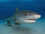 Tiger Sharks (Galeocerdo Cuvier), Tiger Beach, Freeport, Bahamas, Atlantic Ocean Photographic Print by Andy Murch
