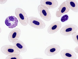 Leopard Frog Blood (Rana Pipiens) Showing Nucleated Red Blood Cells (Erythrocytes) Photographic Print by Gladden Willis