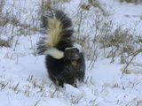 Striped Skunk (Mephitis Mephitis) with Tail Raised in a Snowy Field, USA Photographic Print by Dave Watts