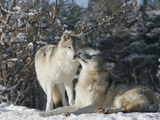 Gray Wolves (Canis Lupus) Photographic Print by Robert Servranckx