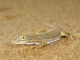 Lizard, Namib Desert, Namibia Photographic Print by Solvin Zankl