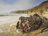 Kelp and Various Invertebrates Covering Rocks at Low Tide Photographic Print by Patrick Smith