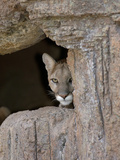 Cougar (Felis Concolor) Peering from Rocks, Captivity Photographic Print by Dave Watts