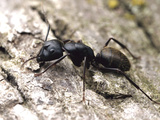 Black Carpenter Ant (Camponotus Pennsylvanicus), Lawrence, Kansas, USA Photographic Print by Alex Wild